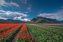 Tulip Field 3. Tulip Field Yarrow 2016 free field Royalty Free Stock Images