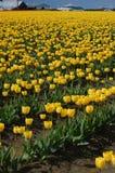 Tulip field. Yellow tulip field, Skagit Valley, WA Stock Image