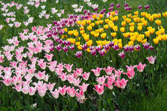 Free Tulip Field. Ying And Yang Figure. Royalty Free Stock Photo - 40258715