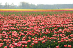 Tulip fields. Various colour, Netherlands Stock Photos