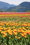 Tulip fields stock photo