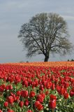 Tulip Fields. Bright red tulips in a field with an old tree in the background royalty free stock image