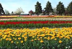 Tulip Fields Stock Photography