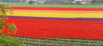 Tulip fields Royalty Free Stock Photography