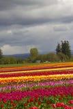 Tulip Fields Foto de archivo