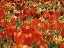 Tulip Fields Photos stock