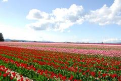Tulip Fields. Mount Vernon Tulip Festival in Washington Stock Photo