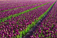 Tulip Fields Stockfoto
