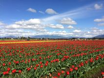 Tulip Fields images libres de droits