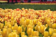 Tulip Fields Stockbild