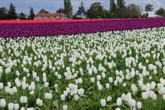Tulip Fields Lizenzfreie Stockfotografie