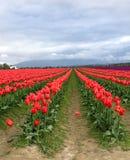 Tulip Fields Stockfotos