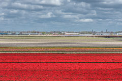 Tulip fields. Stock Images