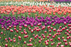 Free Tulip Fields Stock Photos - 9026243