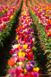 Tulip fields Stock Photo