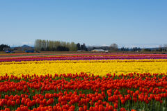 Tulip Fields fotografia de stock royalty free