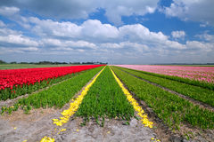 Tulip fields in Alkmaar Stock Photo