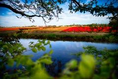 Tulip Fields Amsterdam med att inrama för träd Fotografering för Bildbyråer