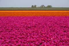 Tulip fields artwork Royalty Free Stock Photos
