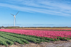 Tulip fields on background windmill Stock Photography