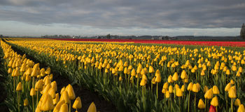 Tulip fields Stock Photos