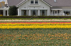 Tulip fields in the Bollenstreek Stock Photos