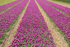 Tulip fields in the Bollenstreek Stock Photography