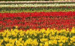 Tulip fields in the Bollenstreek Royalty Free Stock Photos