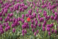 Tulip fields in the Bollenstreek Stock Image