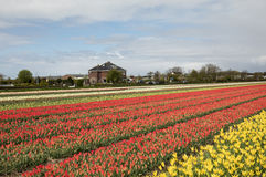 Tulip fields in the Bollenstreek Royalty Free Stock Photos