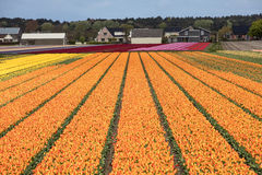 Tulip fields in the Bollenstreek Stock Photography