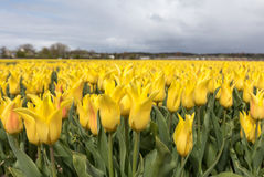 Tulip fields of the Bollenstreek, Royalty Free Stock Photography