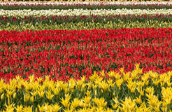 Tulip fields of the Bollenstreek, Royalty Free Stock Photos