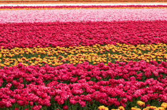 Tulip fields of the Bollenstreek, Royalty Free Stock Image