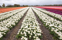 Tulip fields of the Bollenstreek, Stock Images