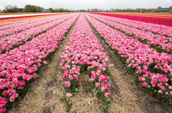 Tulip fields of the Bollenstreek, Stock Photography