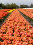 Tulip fields in the Bollenstreek Stock Photo