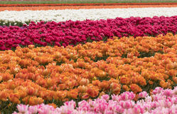 Tulip fields in the Bollenstreek Stock Image