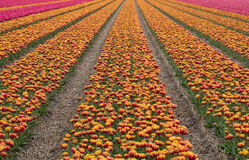 Tulip fields in the Bollenstreek Royalty Free Stock Photo