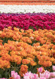 Tulip fields of the Bollenstreek Royalty Free Stock Photography