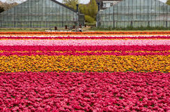 Tulip fields of the Bollenstreek Stock Images