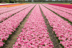 Tulip fields of the Bollenstreek Stock Image