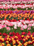 Tulip fields of the Bollenstreek,. South Holland, Netherlands Royalty Free Stock Images