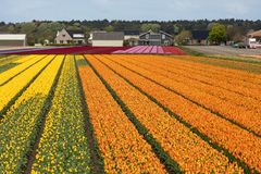 Tulip fields of the Bollenstreek, South Holland Royalty Free Stock Photography