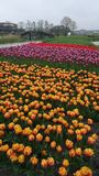 Tulip fields at Broek op Langedijk Royalty Free Stock Image