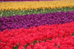 Tulip Fields Royalty Free Stock Photos