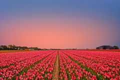 Tulip fields in the countryside from the Netherlands in spring Stock Image