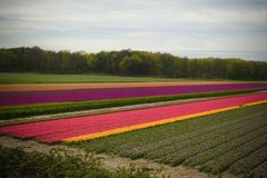 Tulip Fields dans le printemps d'Amsterdam Image stock