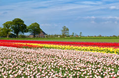 Tulip fields and dutch farmhouse Royalty Free Stock Images