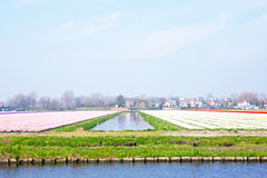 Tulip fields in a dutch landscape in Netherlands Royalty Free Stock Image